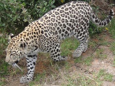 2024Leopard